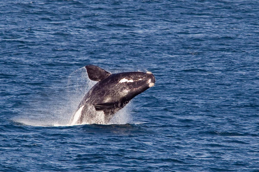 Whale Watching Flights From Warrnambool